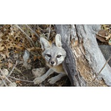 GREY GITTER, grey fox and raccoon lure