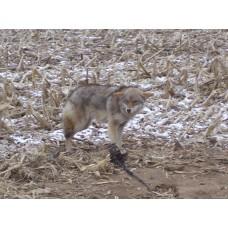 COYOTE STOP 16oz, coyote, bobcat, fox lure