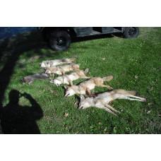 FUR CHECK, coyote, fox, bobcat lure
