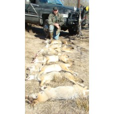 Bait Solution for coyotes, fox and bobcats