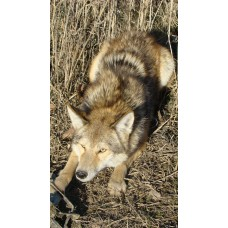 Boss Dog coyote fox Lure