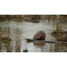 FLAT TAIL CALL, beaver lure