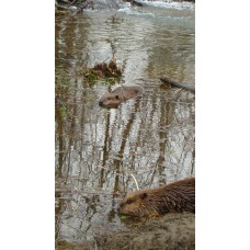 ENRAGER, beaver lure