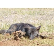 PRIMAL PASTE BAIT, coyote, bobcat and fox bait