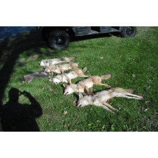 FUR CHECK, coyote, fox, bobcat lure